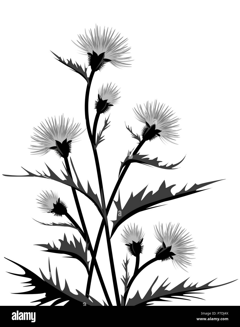 Vector Illustration of thistle with leaves. Floral background - Stock Image