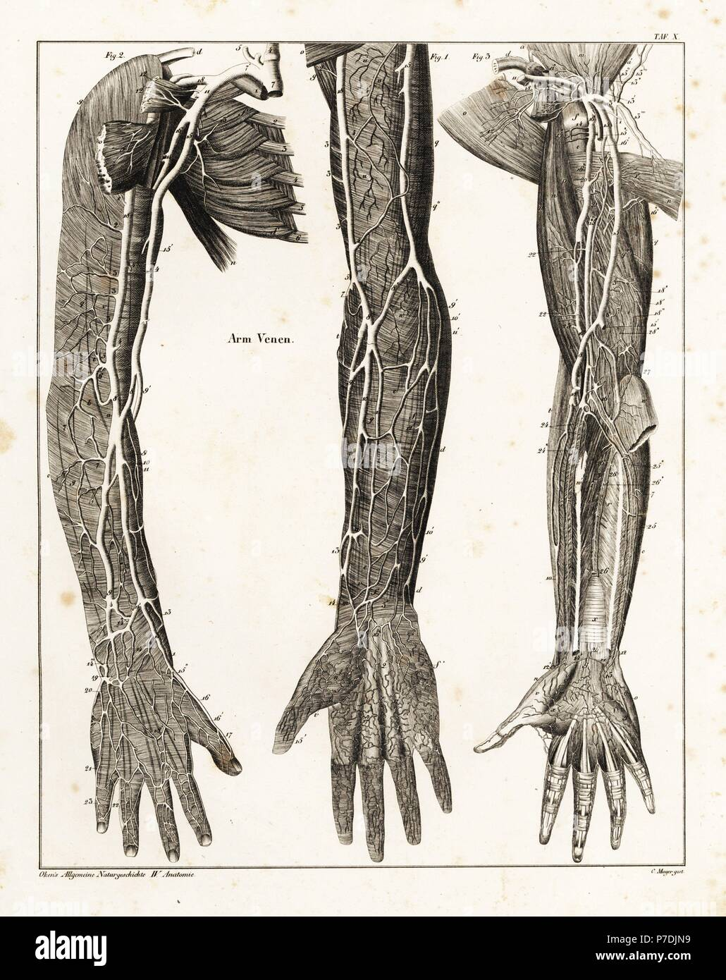 Anatomy of the human venal system in the arms. Lithograph by C ...