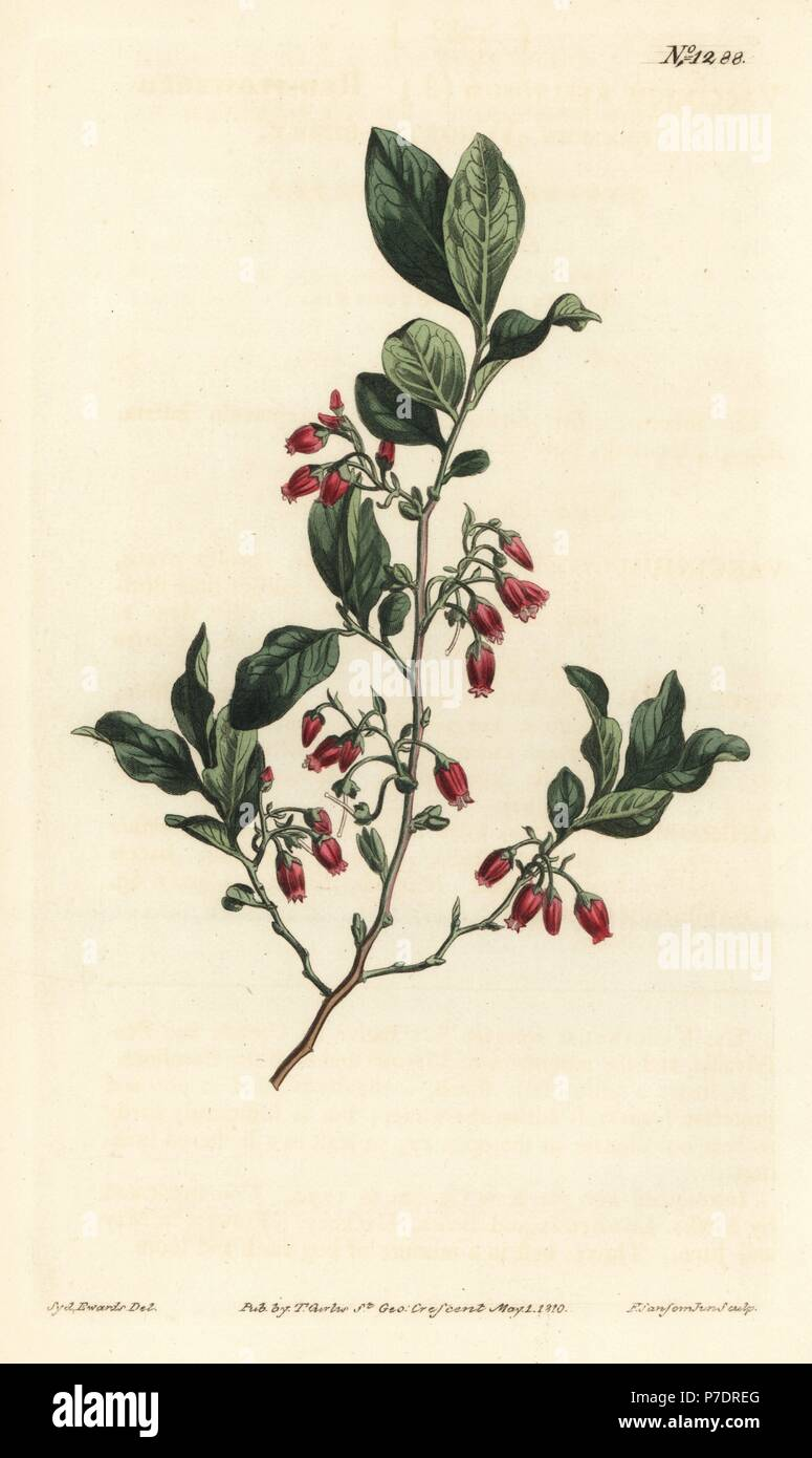 Black huckleberry, Gaylussacia baccata (Red-flowered clammy whortle-berry, Vaccinium resinosum). Handcoloured copperplate engraving by F. Sansom Jr. after an illustration by Sydenham Edwards from William Curtis' Botanical Magazine, T. Curtis, London, 1810. - Stock Image