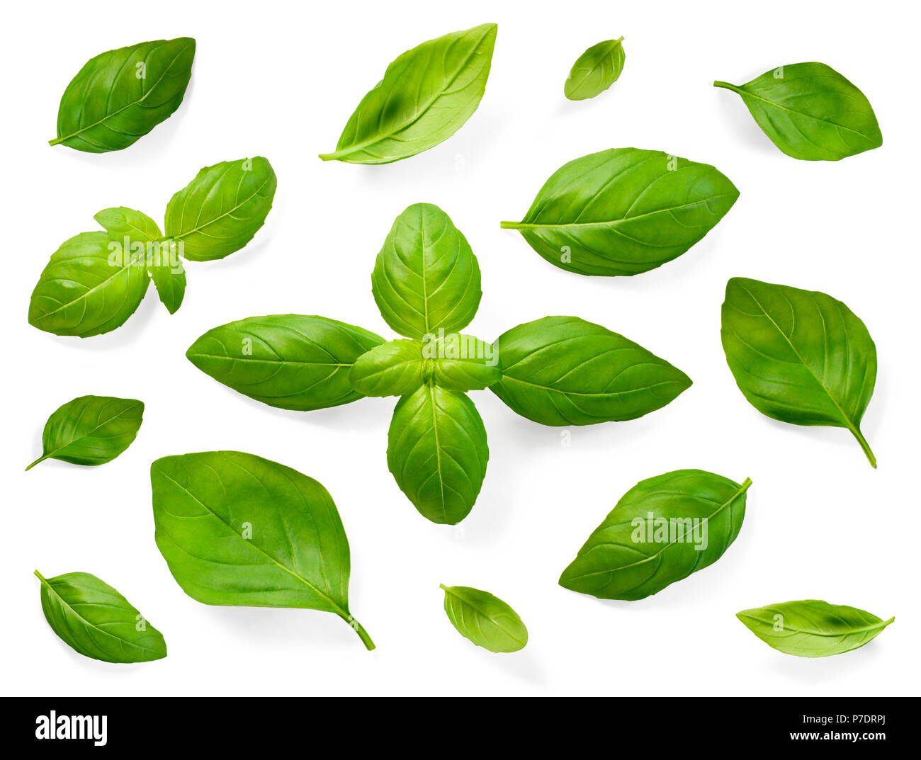 Fresh Basil Leaves Isolated On White Background Top View Or High