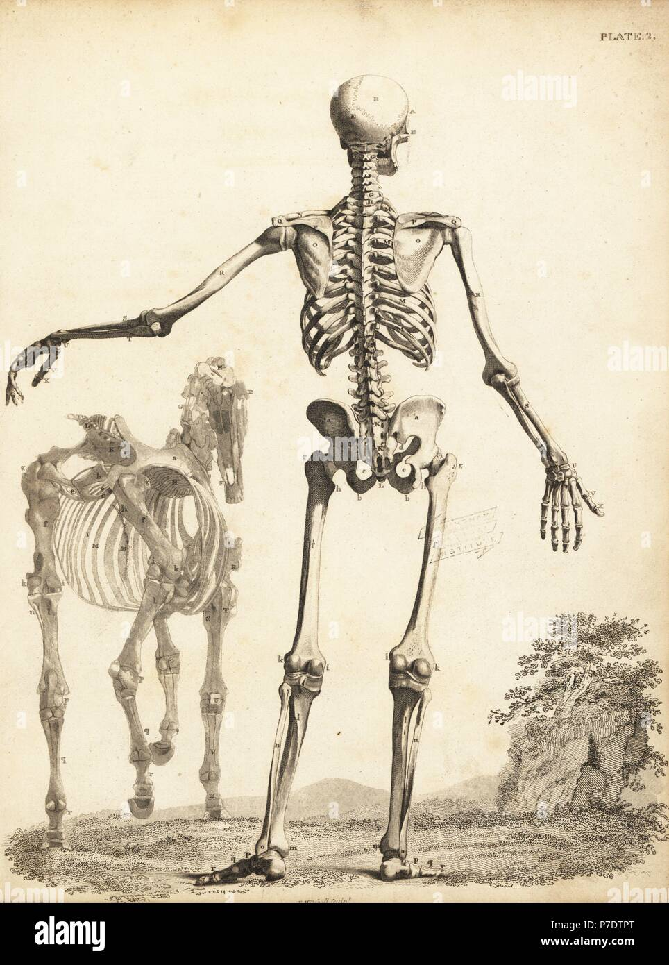 Human skeleton from the rear, with horse skeleton by George Stubbs ...