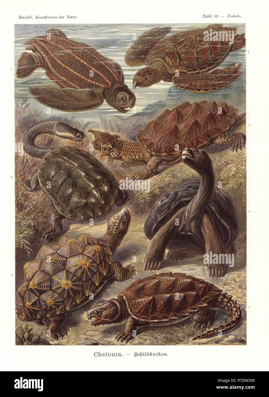 Chelonia: Leatherback turtle, Dermochelys coriacea, hawksbill turtle, Eretmochelys imbricata (critically endangered), Argentine snake-necked turtle, Hydromedusa tectifera, Mata mata, Geochelone nigra, geometric turtle, Psammobates geometricus (endangered), Galapagos tortoise, Dipsochelys dussumieri, and common snapping turtle, Chelydra serpentina. Chromolithograph by Adolf Glitsch from an illustration by Ernst Haeckel from Art Forms in Nature, Kunstformen der Natur, Liepzig, Germany, 1904. - Stock Image