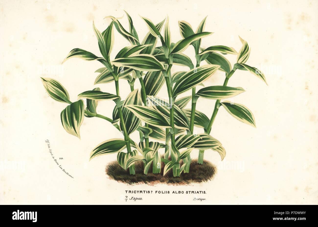 "Tricyrtis Macropoda /""Temple Lily/""  x 15  Fresh Seed"