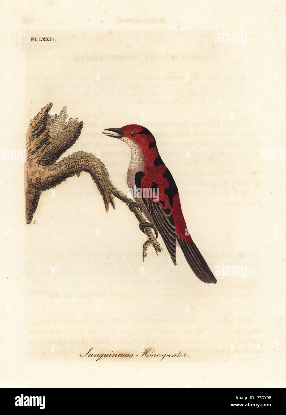 Scarlet myzomela, Myzomela sanguinolenta (Sanguineous honey-eater, Certhia sanguinolenta). Australia. Handcoloured copperplate drawn and engraved by John Latham from his own A General History of Birds, Winchester, 1822. - Stock Image