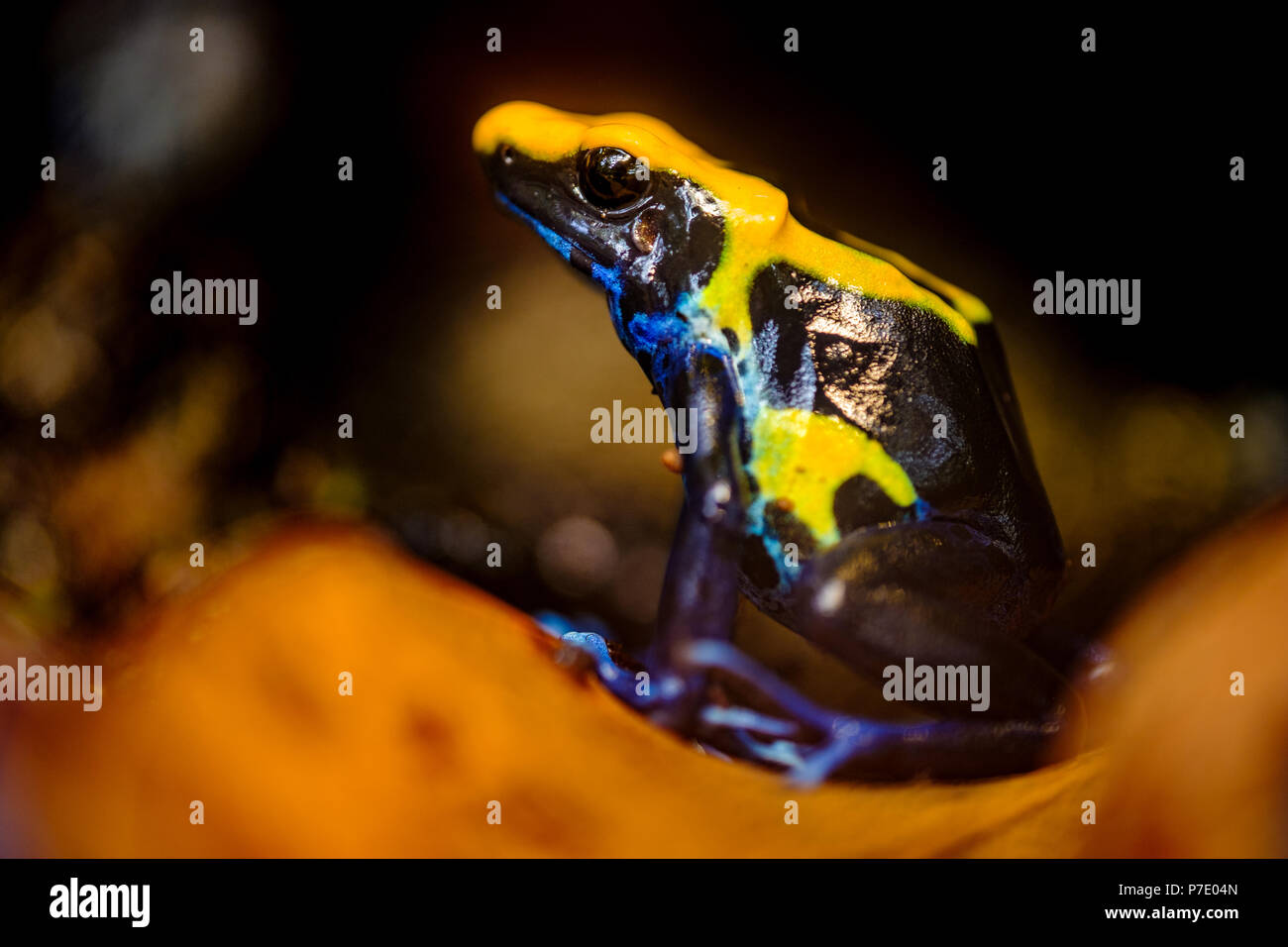 The dyeing dart frog, tinc (a nickname given by those in the hobby of keeping dart frogs), or dyeing poison frog (Dendrobates tinctorius) is a species - Stock Image