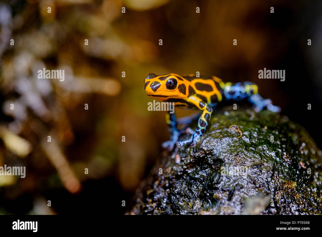 Mimic Poison Frog, Ranitomeya imitator Jeberos is a species of poison dart frog found in the north-central region of eastern Peru.  Its common name in - Stock Image
