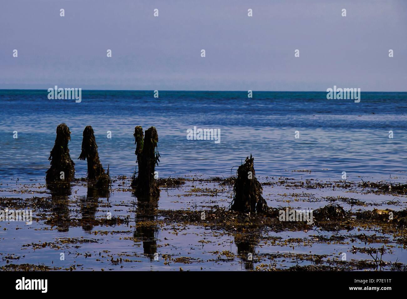 Seaweed covered rotting breakwaters - Stock Image