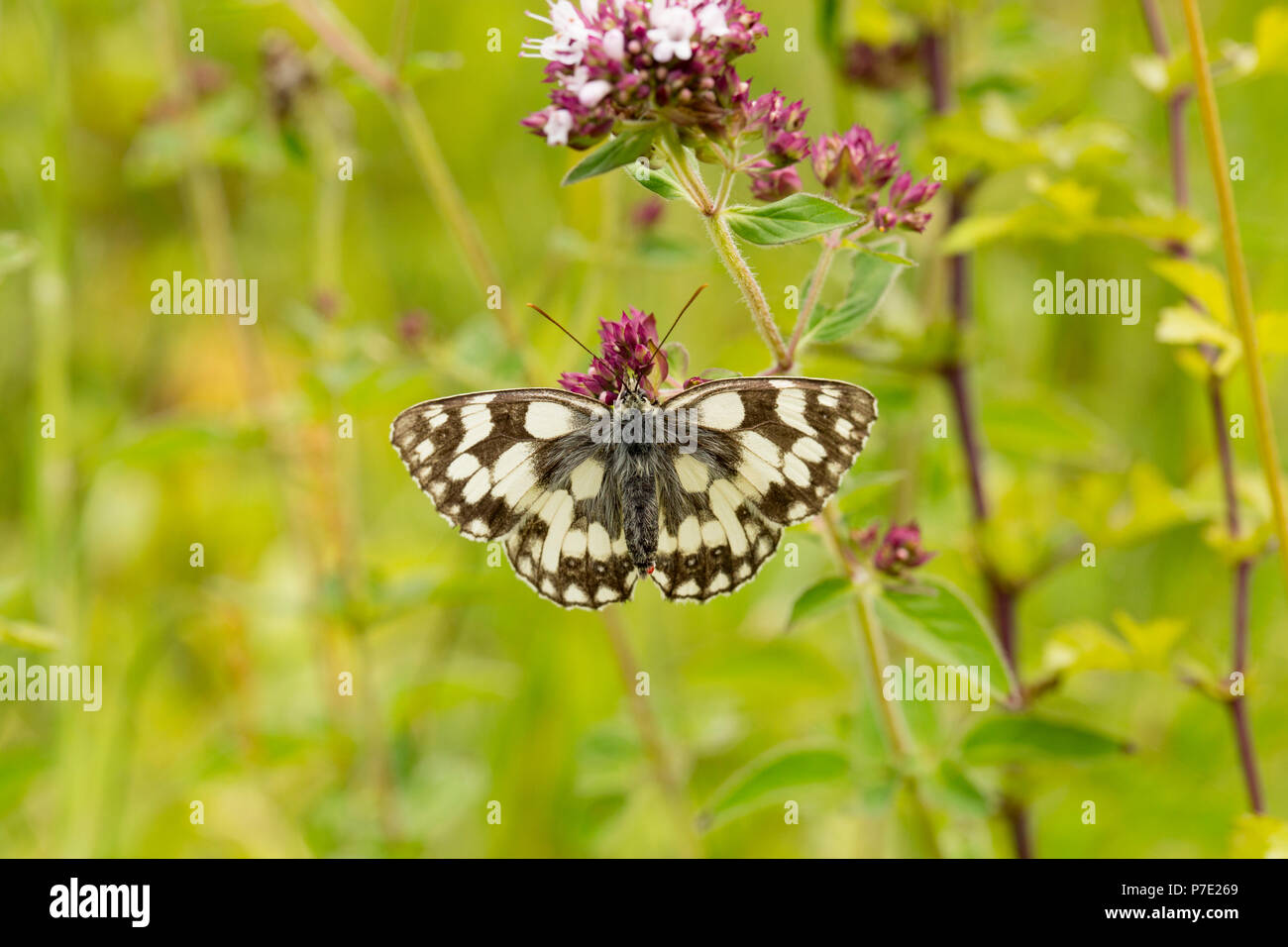 A marbled white butterfly, Melanargia galathea, resting on wild marjoram, Origanum, vulgare, on a humid day at Fontmell Down Nature Reserve Dorset Eng - Stock Image