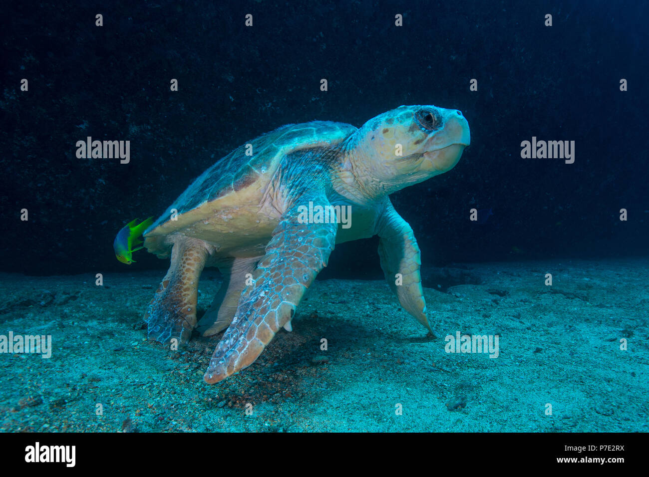 Large Loggerhead turtle gets cleaned of parasites by fish, Isla Mujeres, Quintana Roo, Mexico - Stock Image