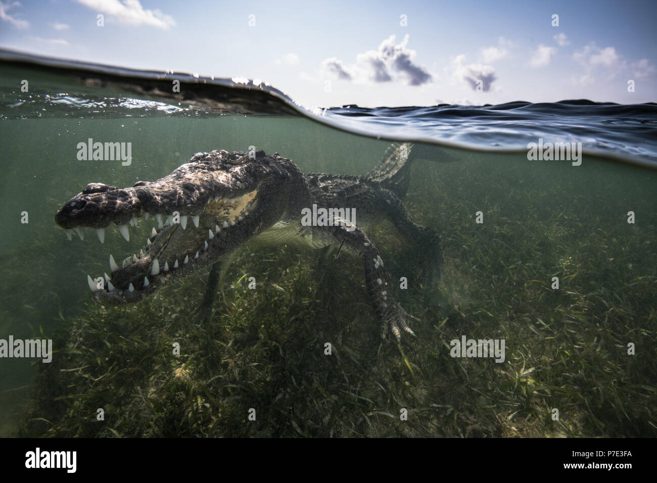 American crocodile (crocodylus acutus) in shallows showing teeth, Chinchorro Banks, Xcalak, Quintana Roo, Mexico - Stock Image