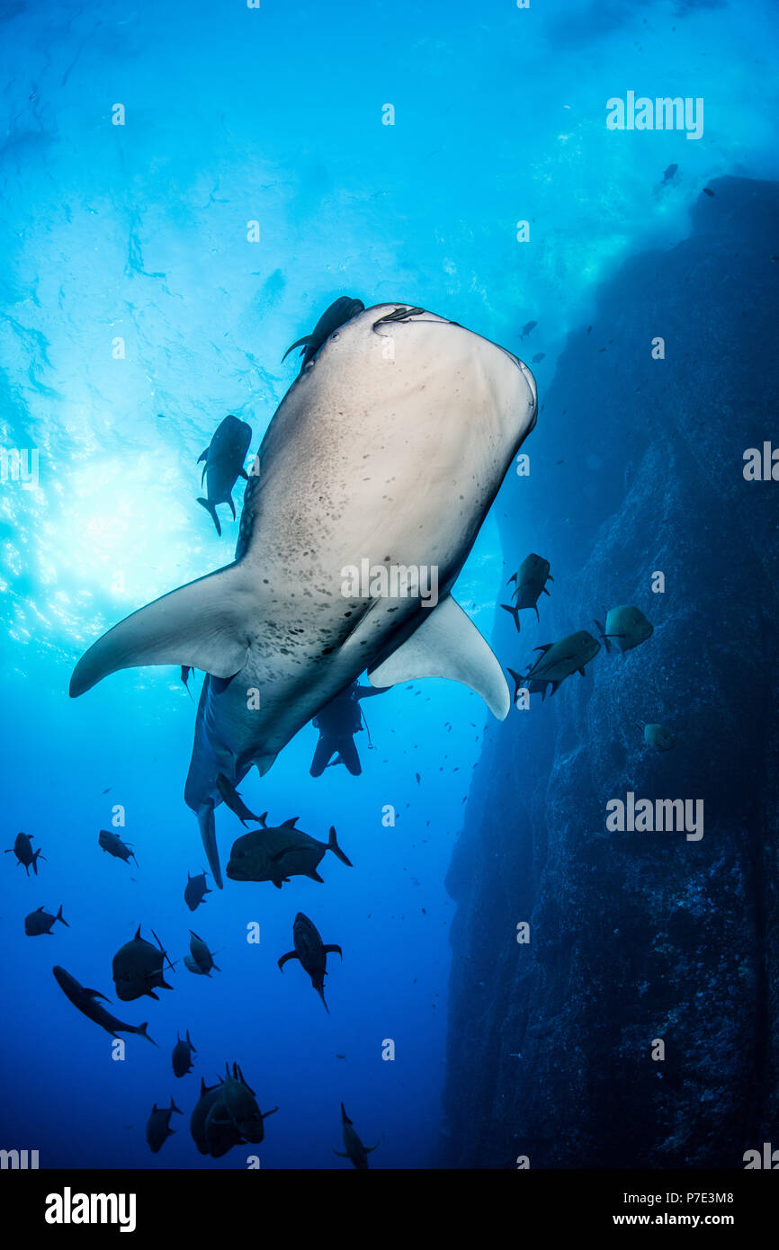 Whale shark swimming close to rock pinnacle, Colima, Mexico - Stock Image