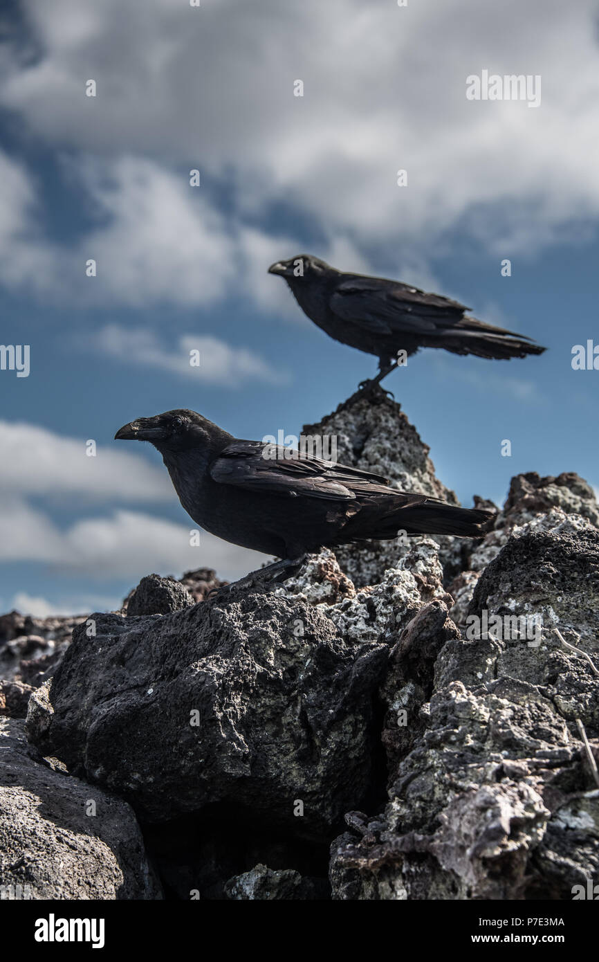 Crows Picking Over Prairie Burn On >> American Crows Stock Photos American Crows Stock Images Alamy