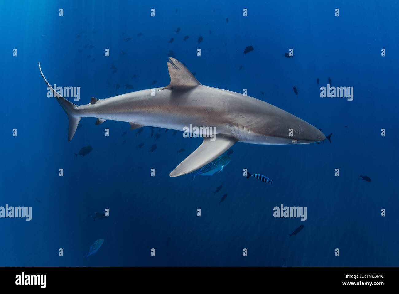 Silky shark in blue water, Revillagigedo, Tamaulipas, Mexico - Stock Image