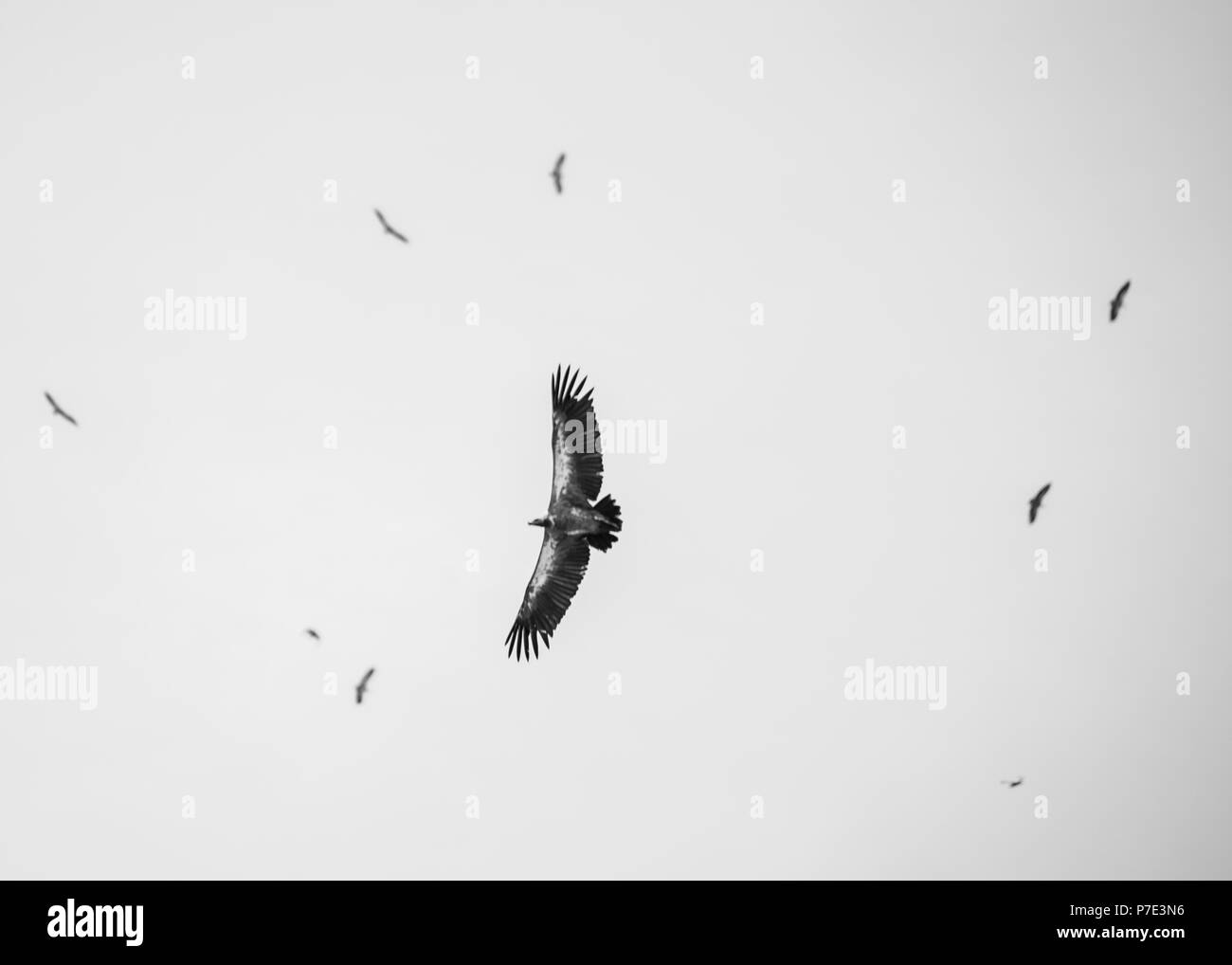 Bird in flight, low angle view, Chobe National Park, Botswana - Stock Image