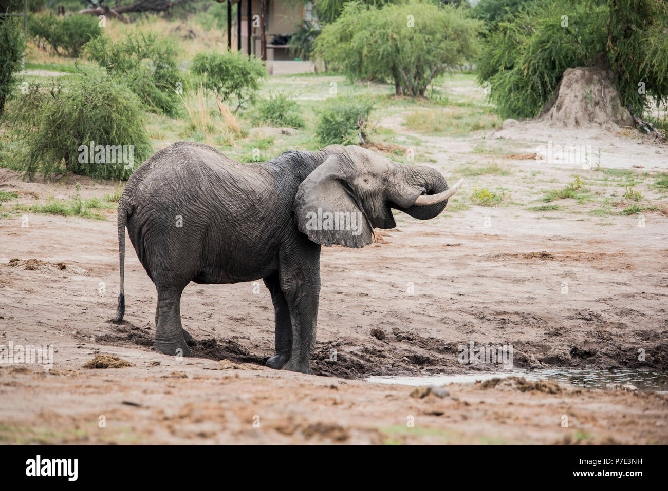 Elephant, Chobe National Park, Botswana - Stock Image