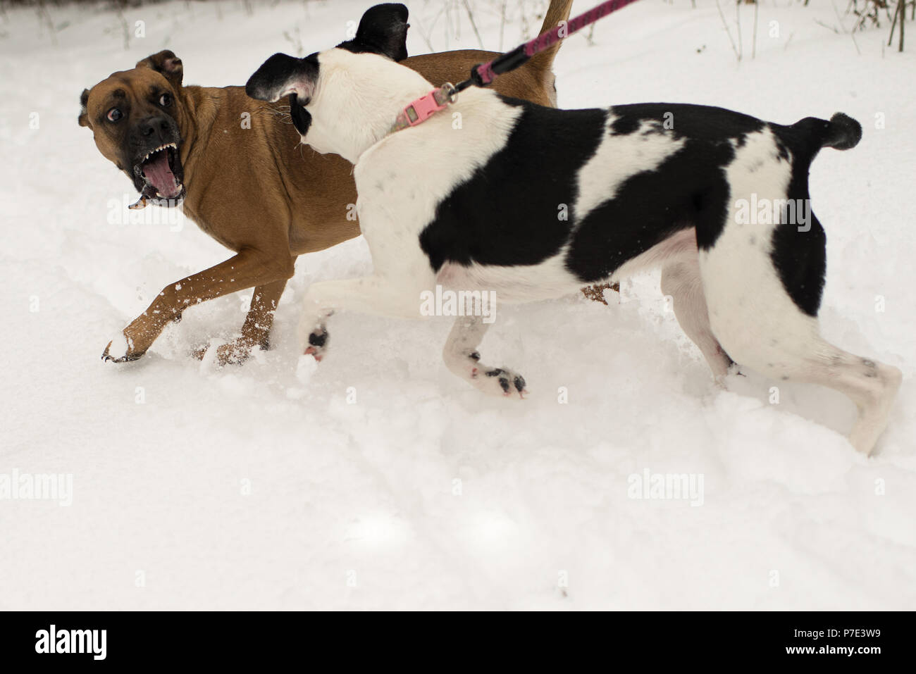 Dog snarling at dog on leash in snow - Stock Image