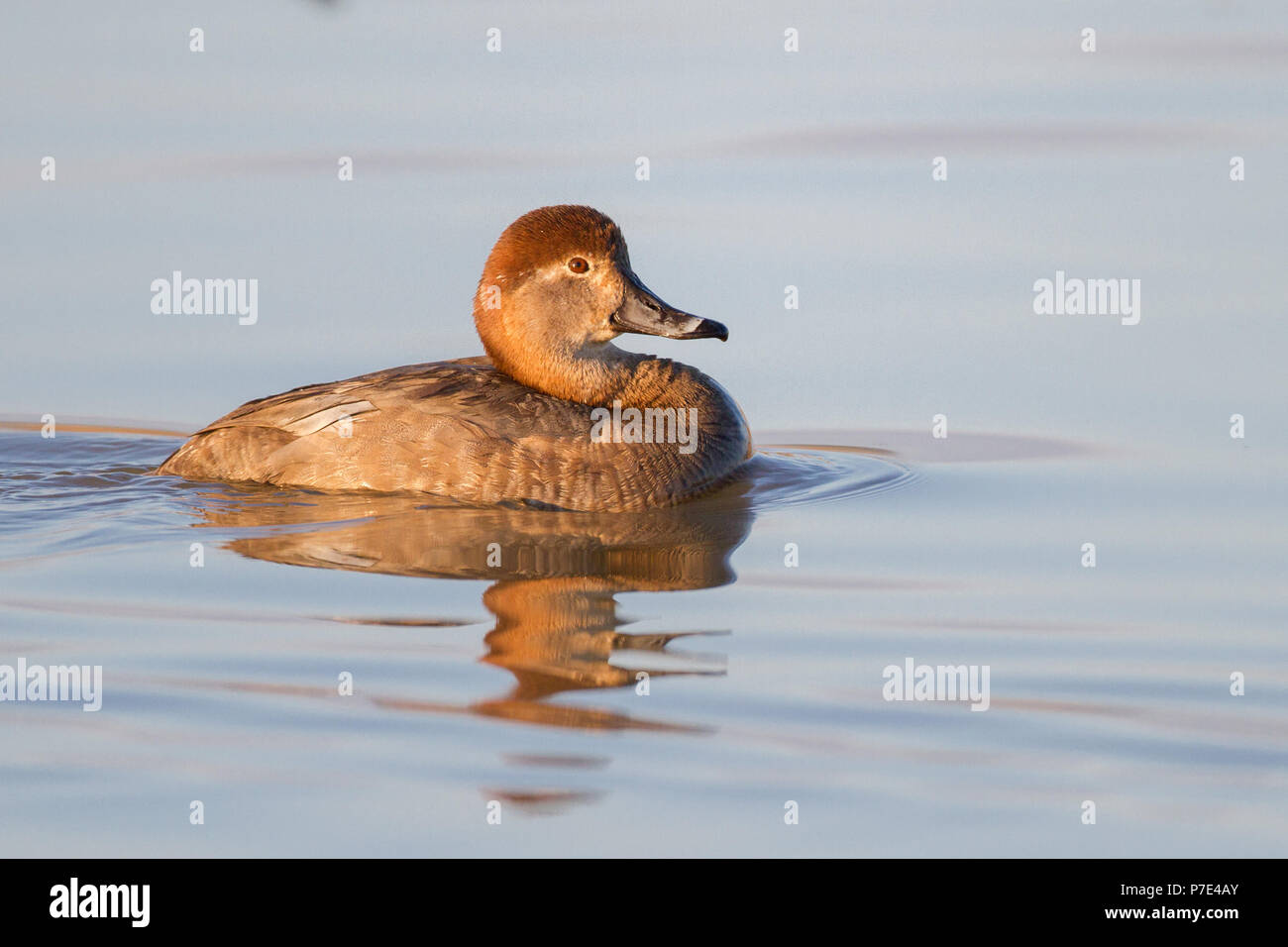 Hen Redhead Picture Duck