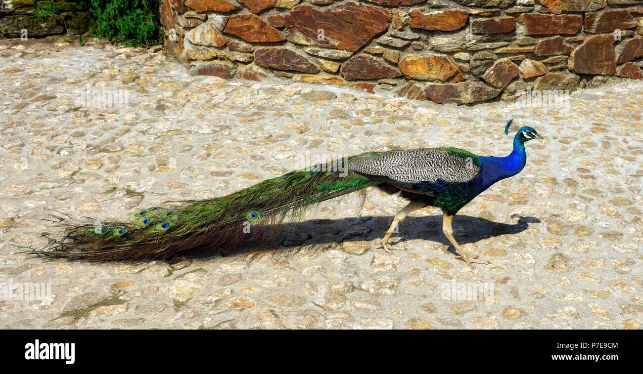 Male peacock walking on the ground,Healeys Cornish Cider Farm,Penhallow, Truro,Cornwall,England,UK - Stock Image