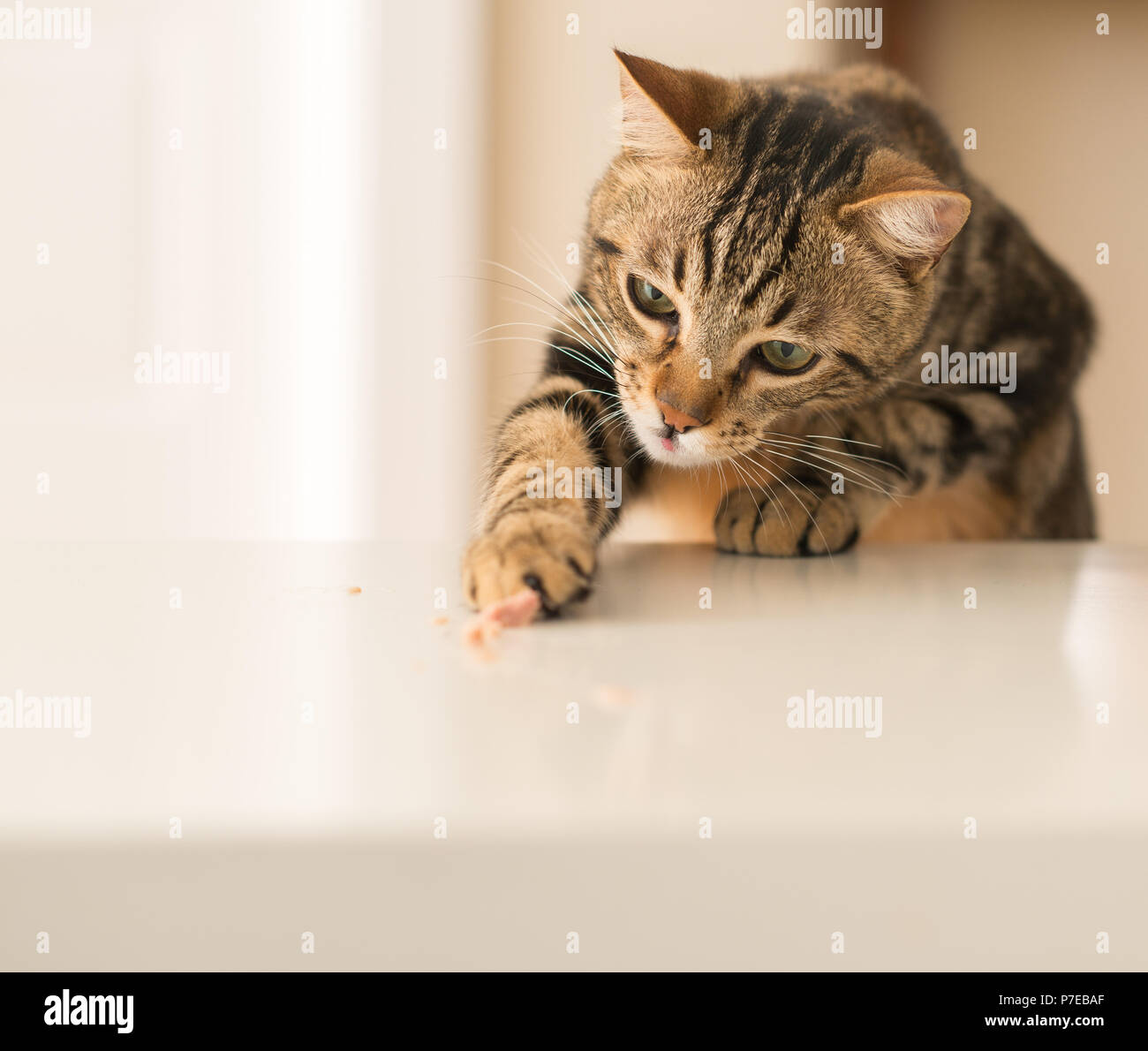 Beautiful feline cat at home. Domestic animal. - Stock Image