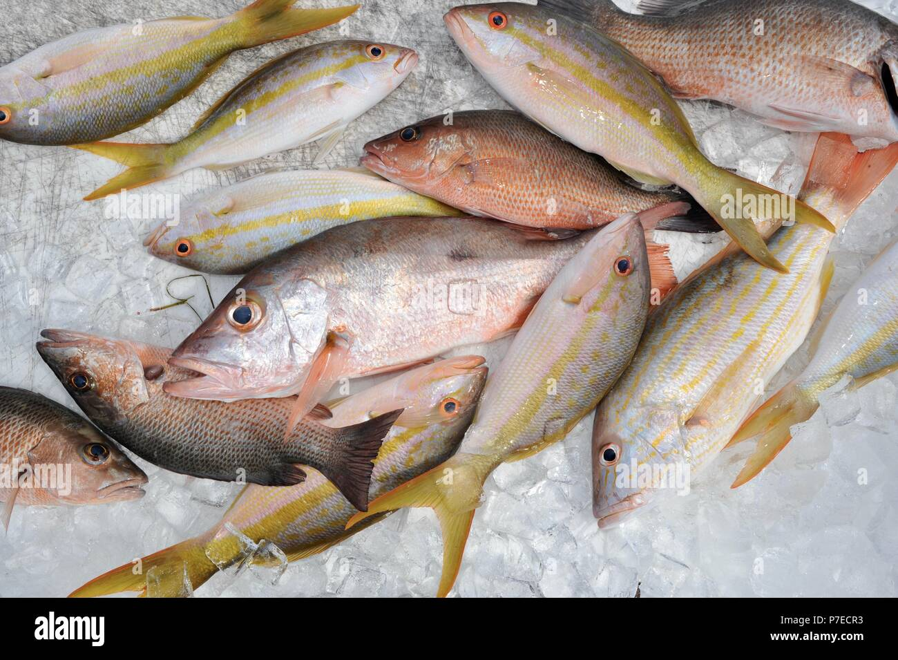 Fresh-caught, saltwater yellow tail and red snapper fish on ice, Marathon Key, Florida, USA Stock Photo