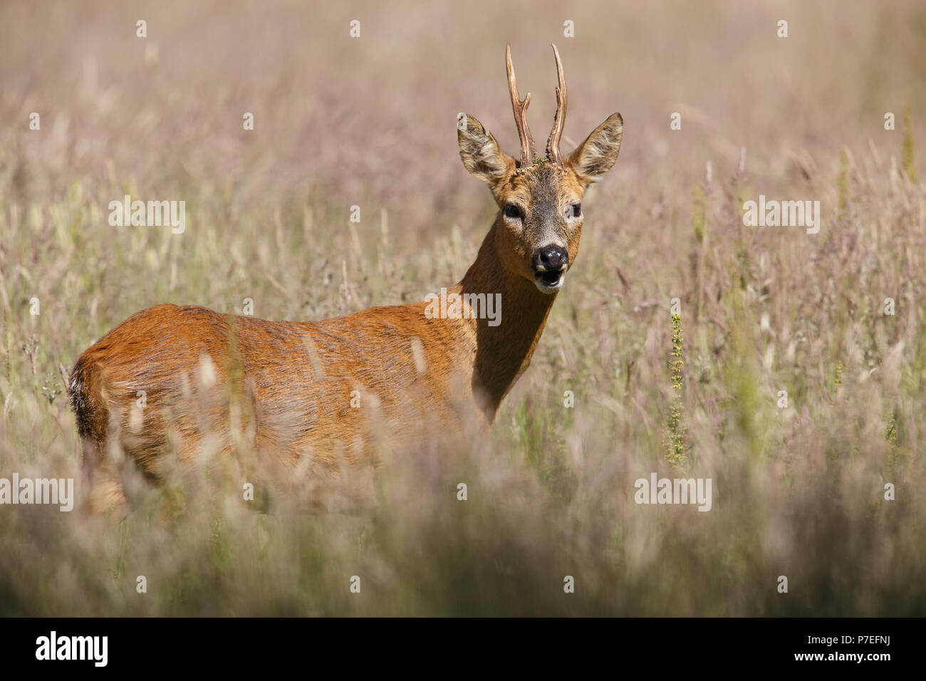 Roebuck in the long summer grass - Stock Image