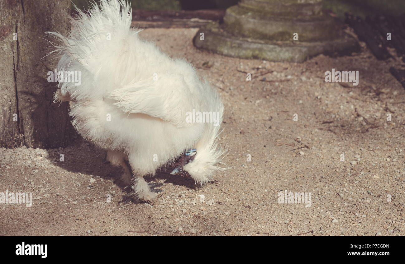 Close up image of a Silkie Chicken - Stock Image