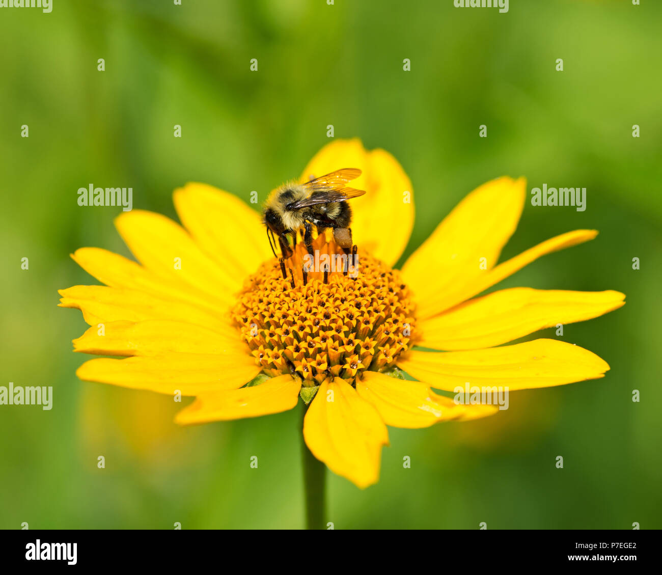 Bee Pollinates Blooming Bright Yellow Flower Of Cut Leaf Coneflower