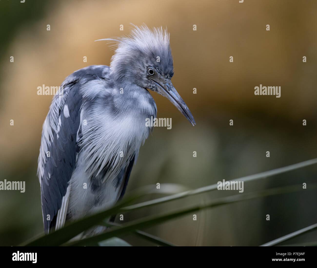 Little Blue Heron - Stock Image