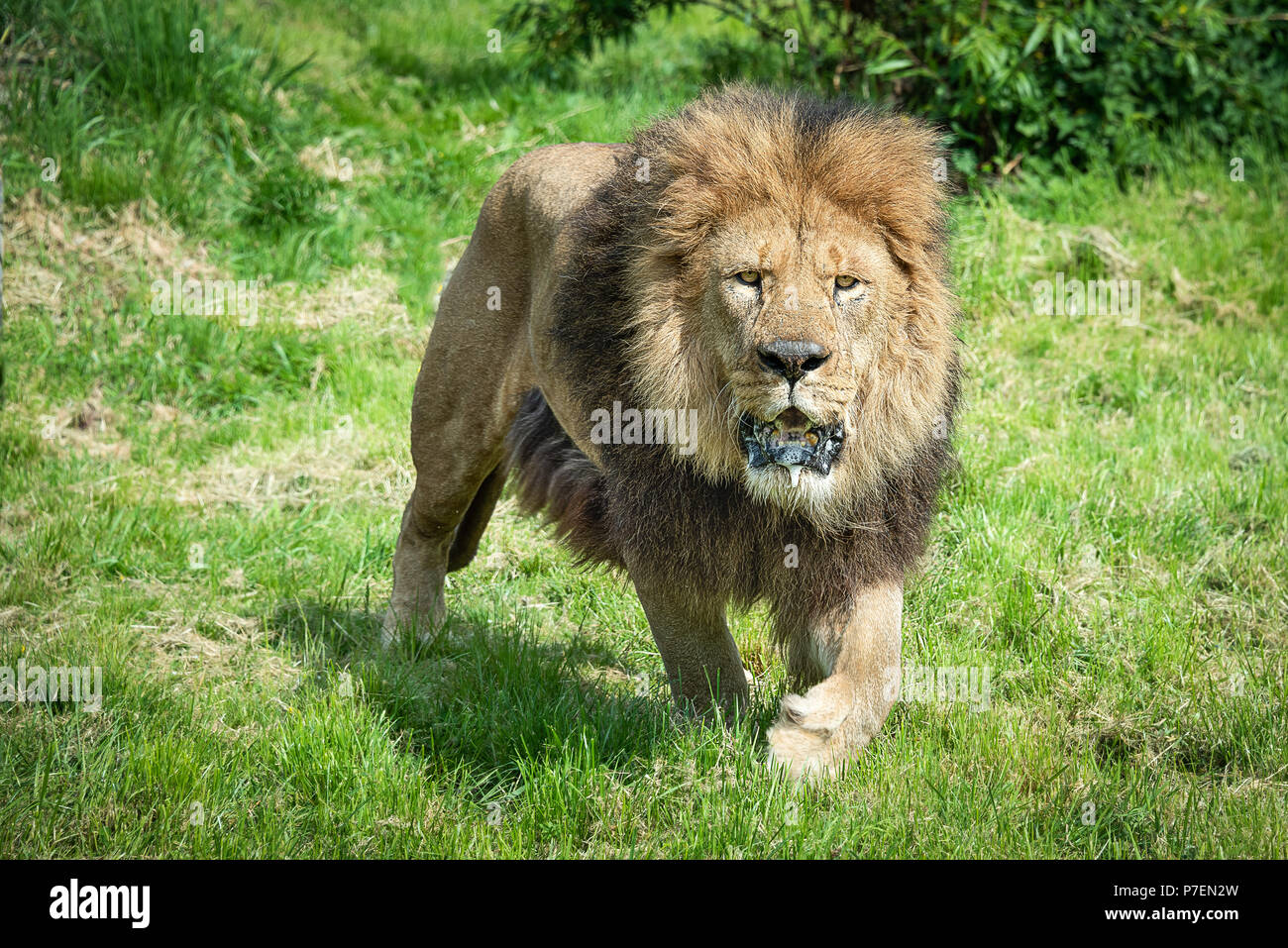 A close image of a lion prowling  walking and staring forward at the camera with a frothing open mouth - Stock Image