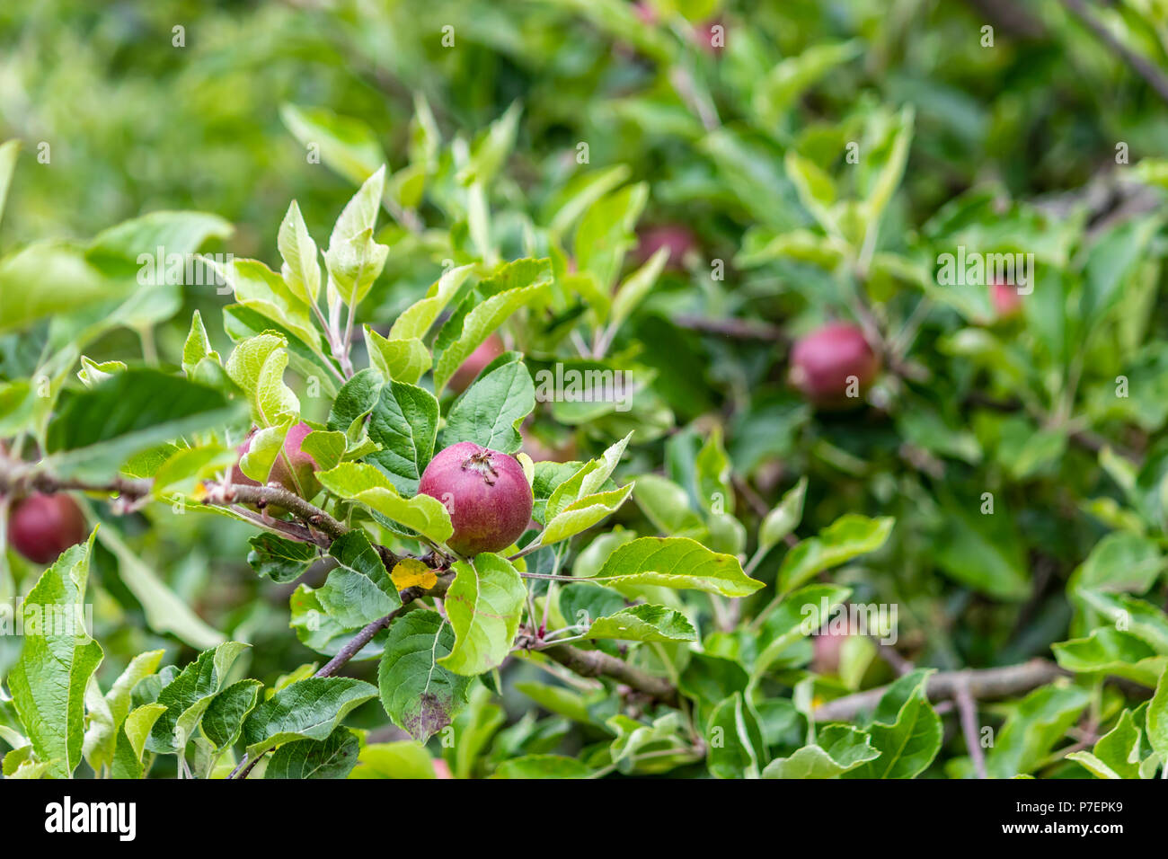 small red apples on green branches - Stock Image