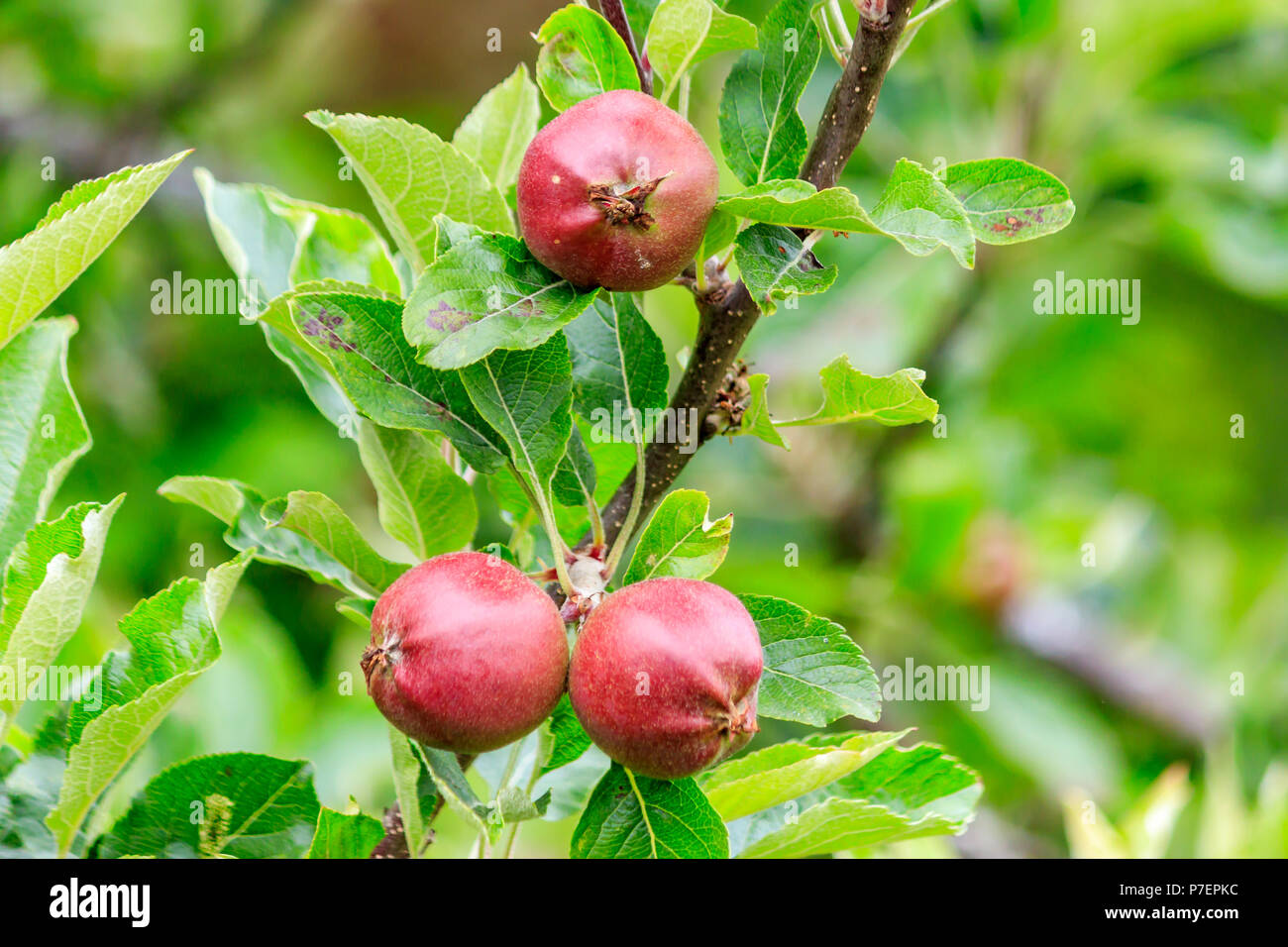 3 small red apples on branches - Stock Image