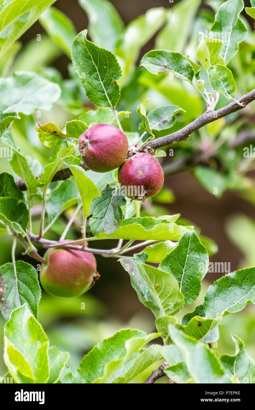 small red apples on branches in early summer - Stock Image