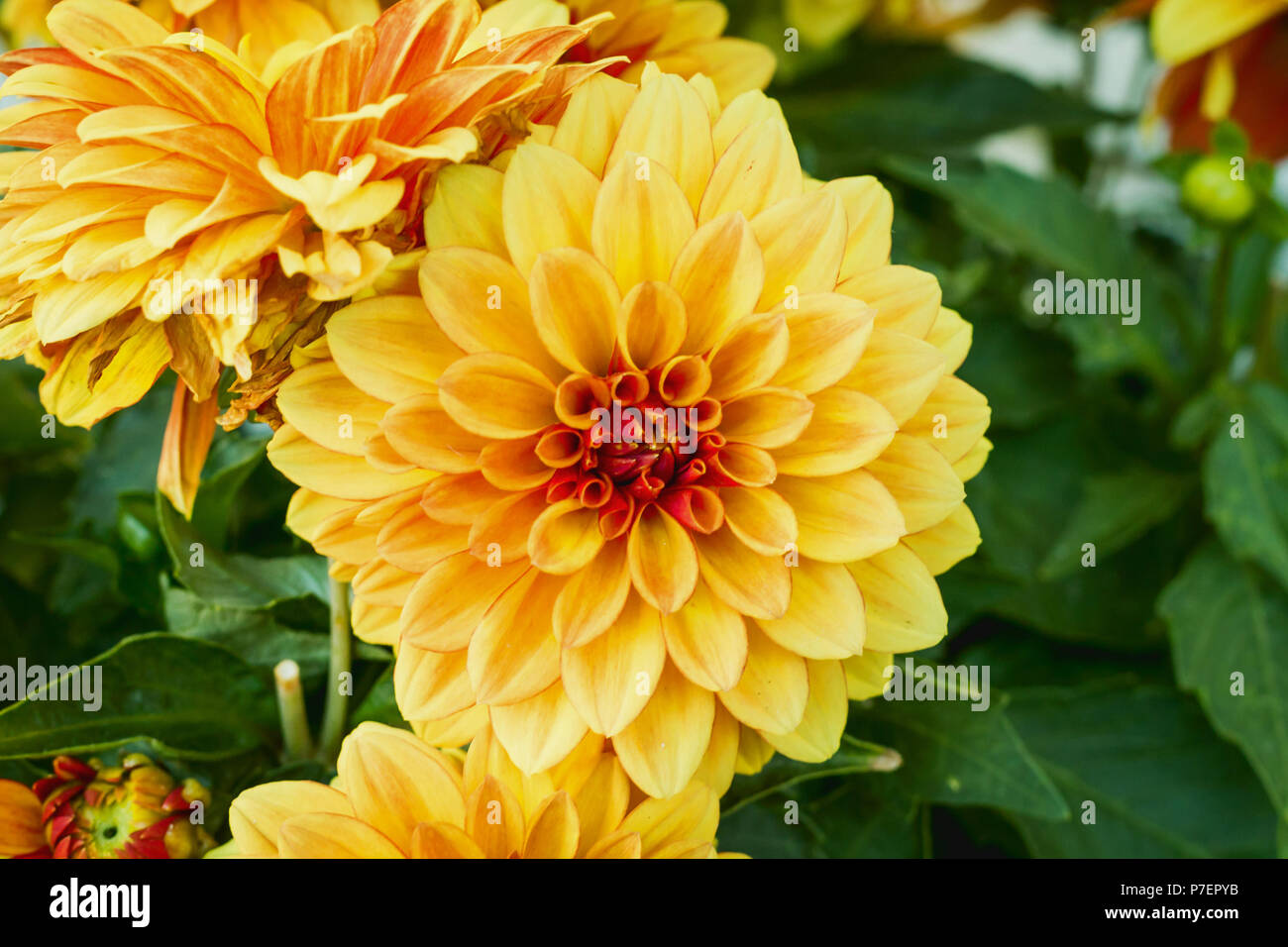 Beautiful orange and yellow chrysanthemum background or wallpaper beautiful orange and yellow chrysanthemum background or wallpaper chrysanthemum flowers close up mightylinksfo