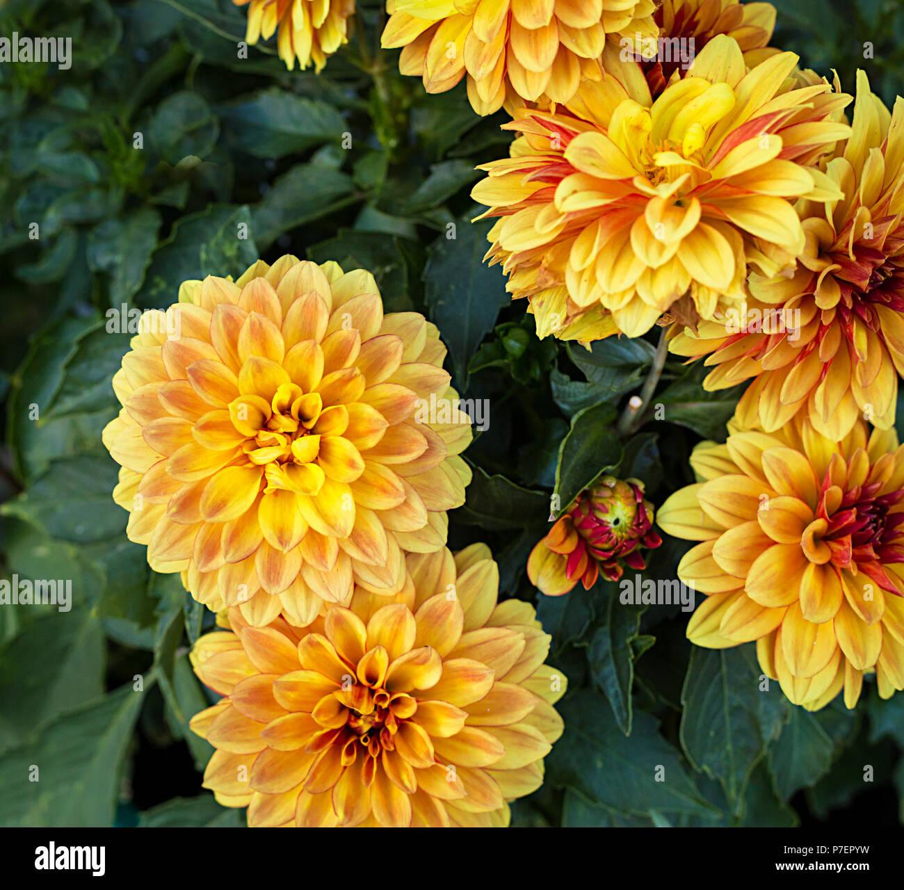 Red Yellow Mum Chrysanthemum Flowers Stock Photos Red Yellow Mum