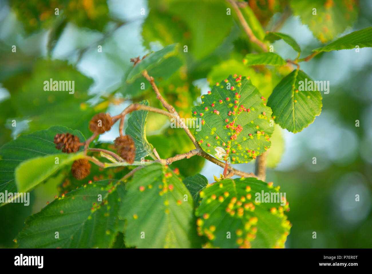 Tree leaves with rust colored spots illness - Stock Image