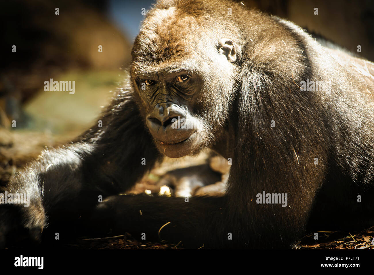 curious gorilla staring at the camera - Stock Image