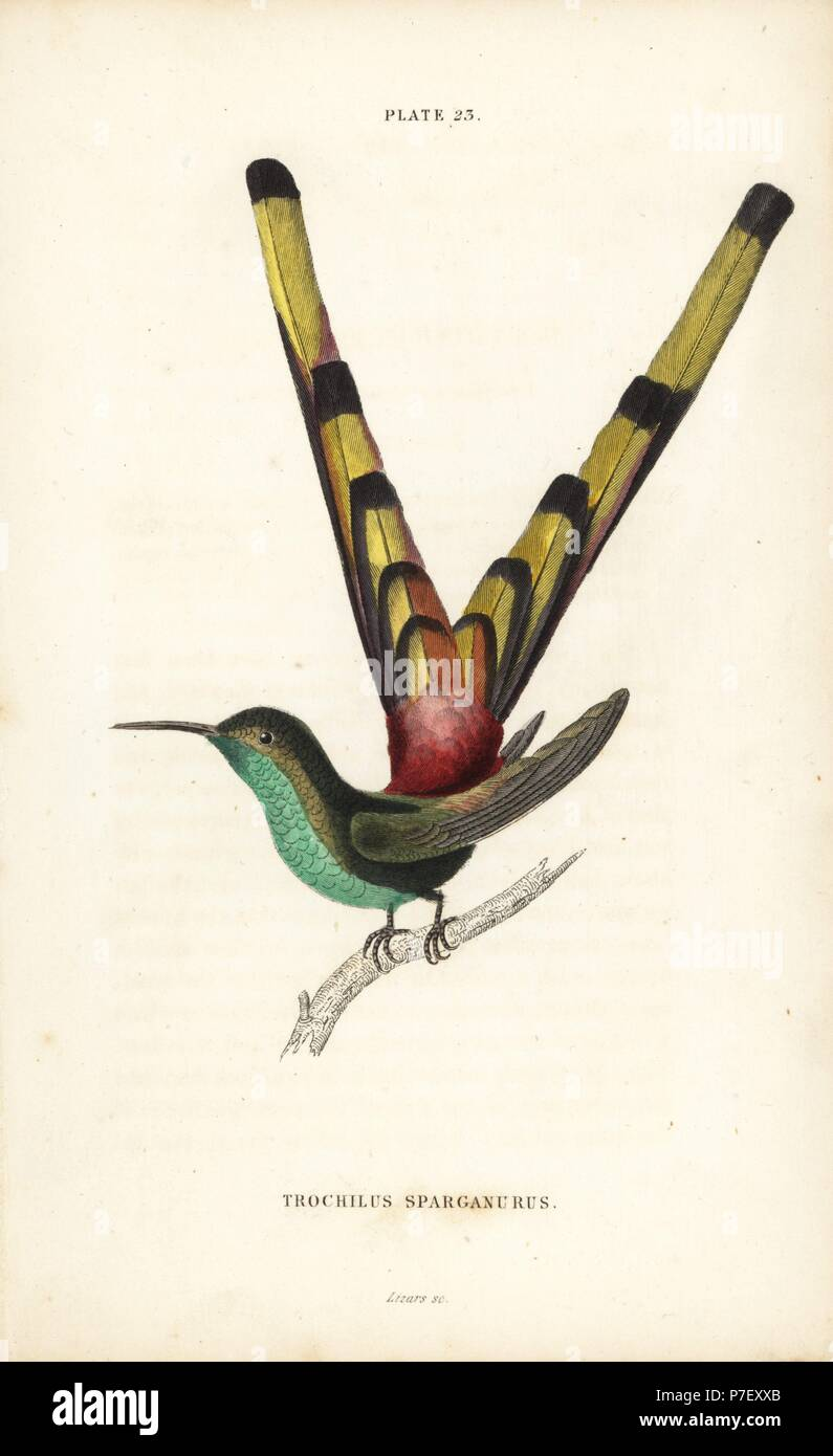 Red-tailed comet or sapho comet-tail, Sappho sparganura (Bar-tailed hummingbird, Trochilus sparganus). Handcoloured steel engraving by William Lizars from Sir William Jardine's Naturalist's Library: Ornithology: Hummingbirds Volume 2, Edinburgh, W.H. Lizars, 1833. - Stock Image
