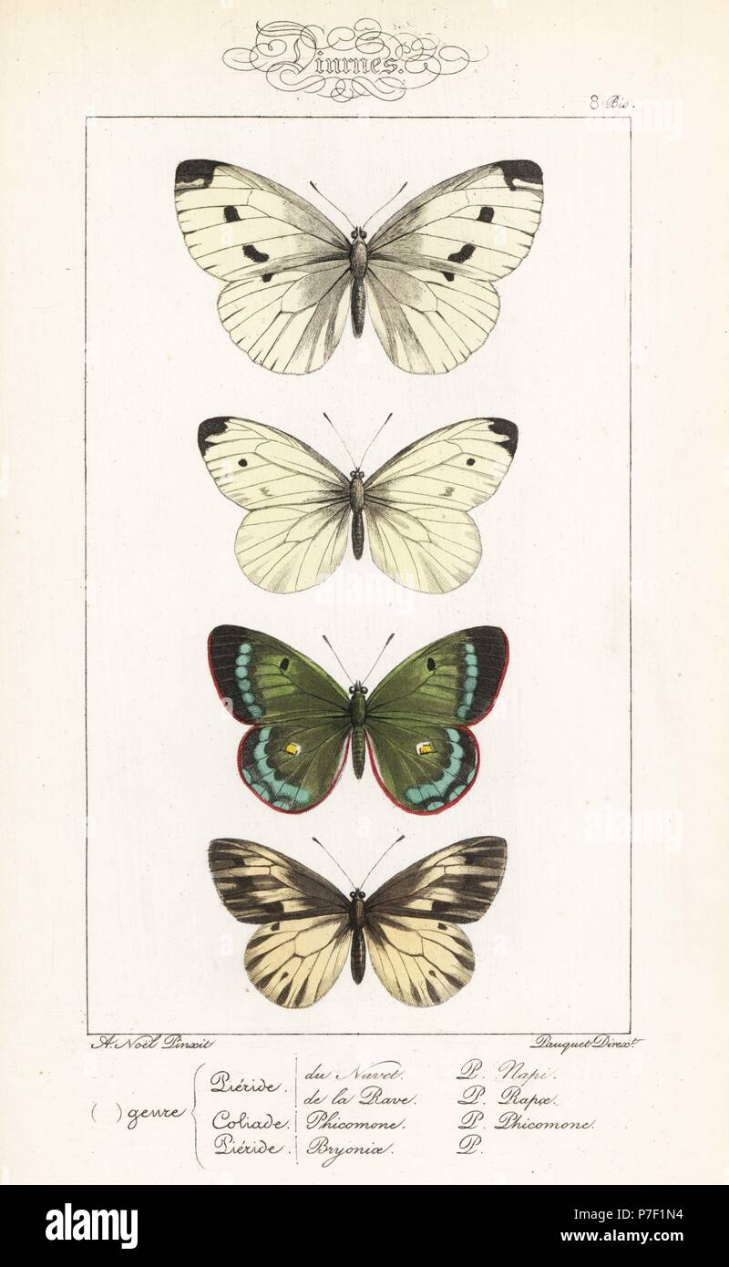 Green-veined white, Pieris napi, small white, Pieris rapae, mountain clouded yellow, Colias phicomone, and dark-veined white, Pieris bryoniae. Handcoloured steel engraving by the Pauquet brothers after an illustration by Alexis Nicolas Noel from Hippolyte Lucas' Natural History of European Butterflies, Histoire Naturelle des Lepidopteres d'Europe, 1864. - Stock Image