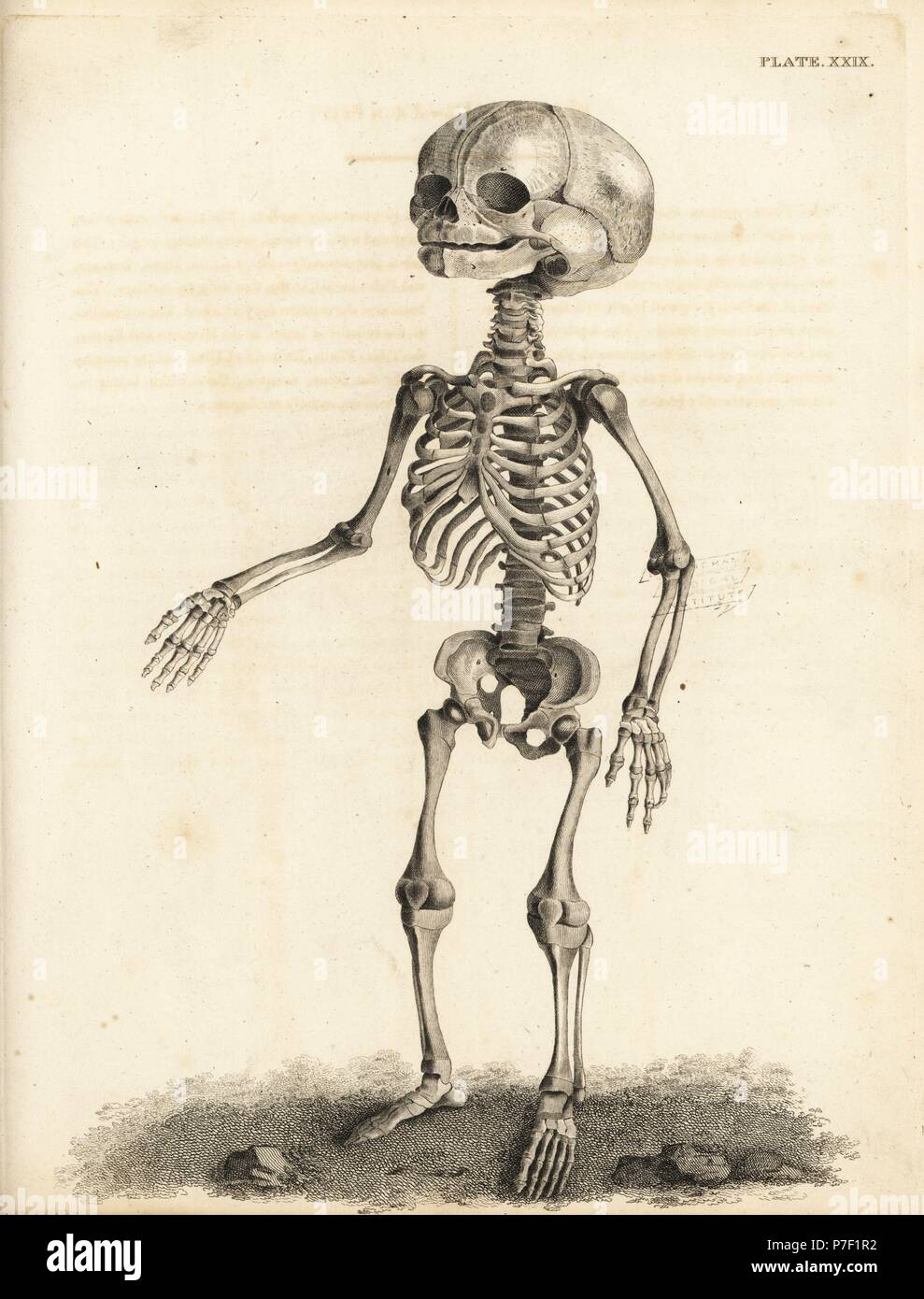 Series Of Engravings Of The Human Skeleton Stock Photos Series Of