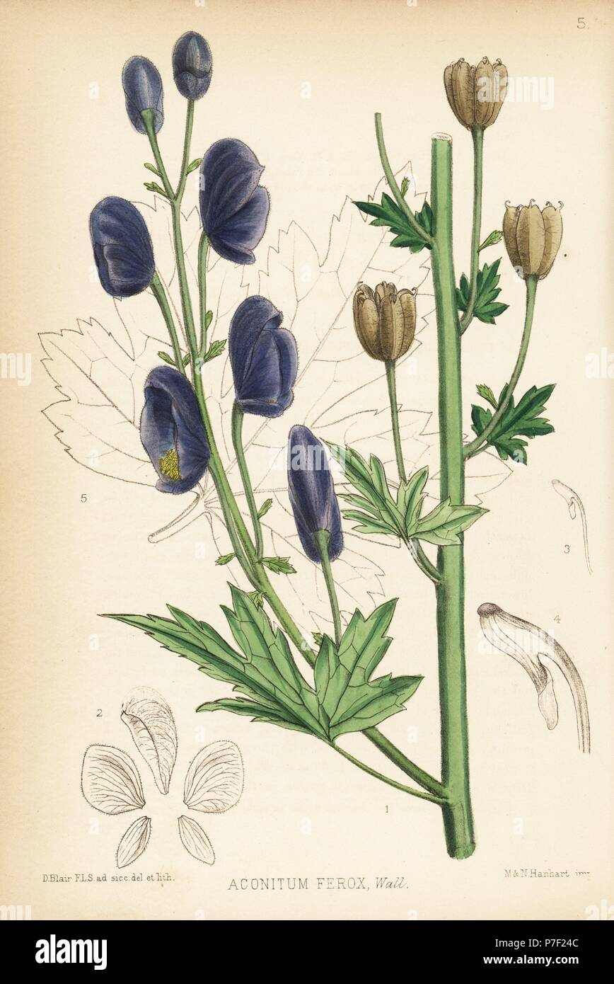 Indian aconite or Nepal aconite, Aconitum ferox. Handcoloured lithograph by Hanhart after a botanical illustration by David Blair from Robert Bentley and Henry Trimen's Medicinal Plants, London, 1880. Stock Photo