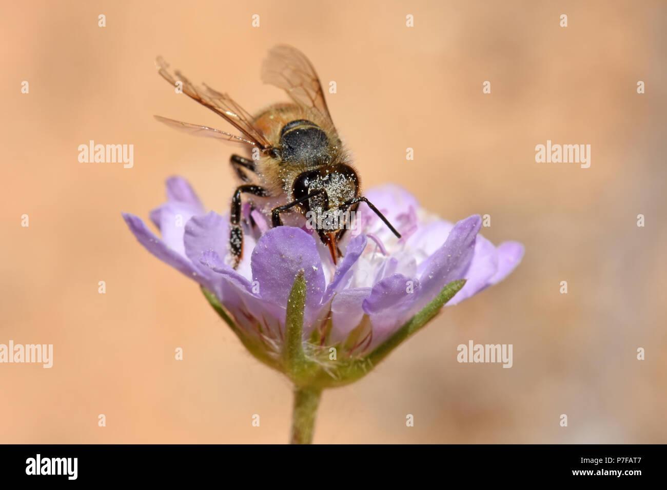 Honeybee pollinating flower - Stock Image