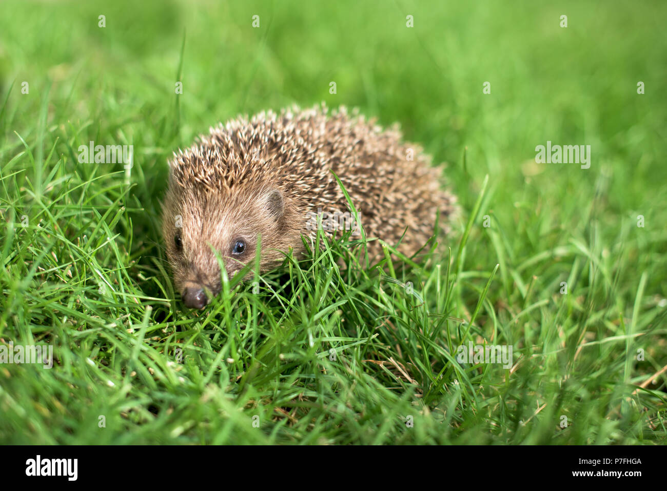 Small hedgehog in a garden, looking at camera - Stock Image