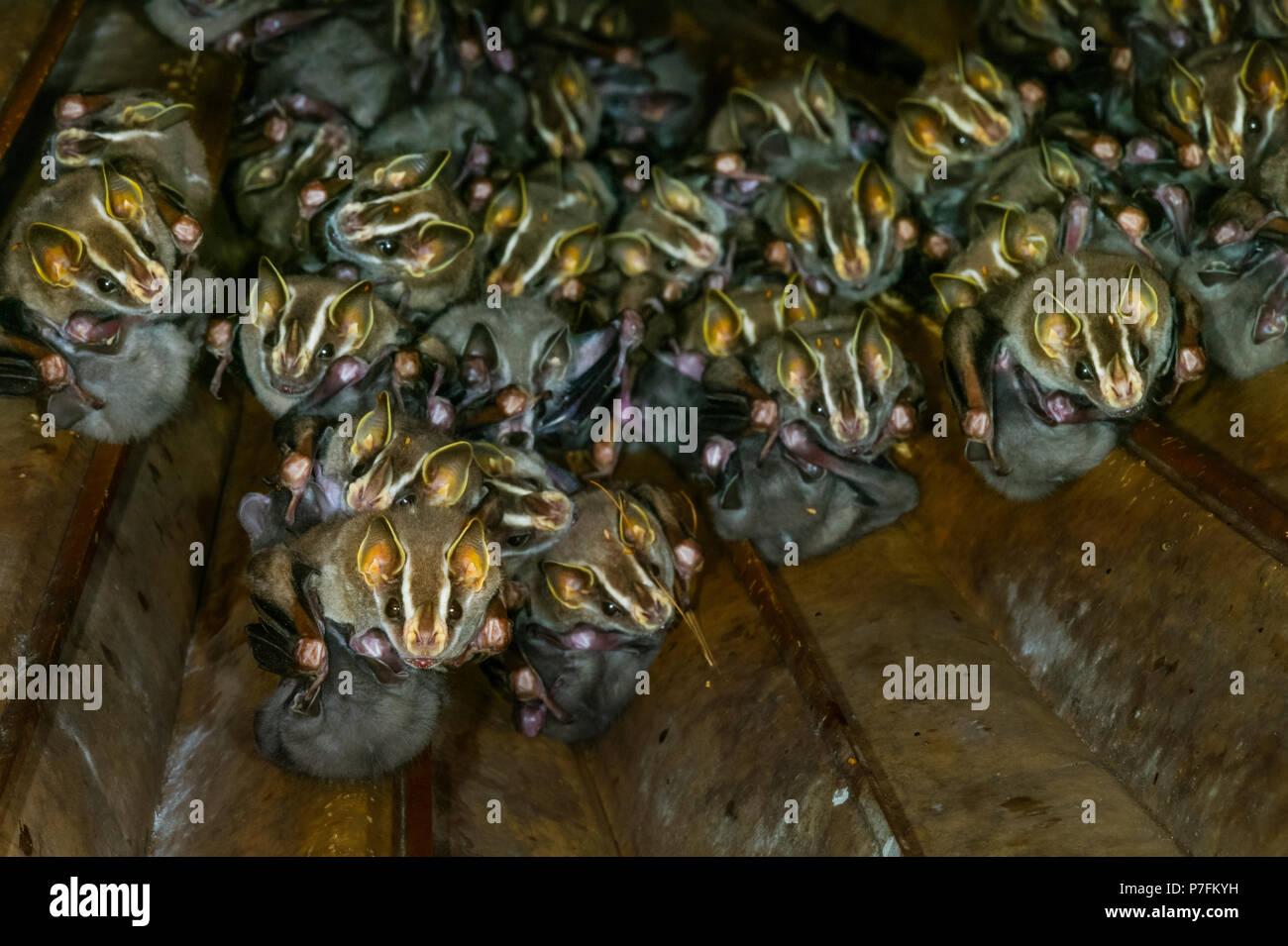 Common Tent-making Bats with young, Uroderma bilobatum, Soberania national park, Republic of Panama. Stock Photo