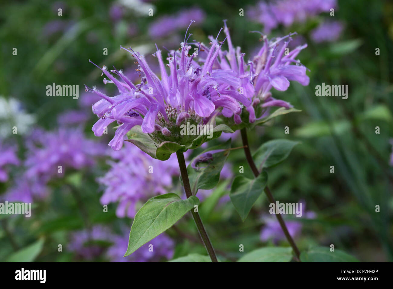 wild bergamot (bee-balm), Glacier National Park - Stock Image