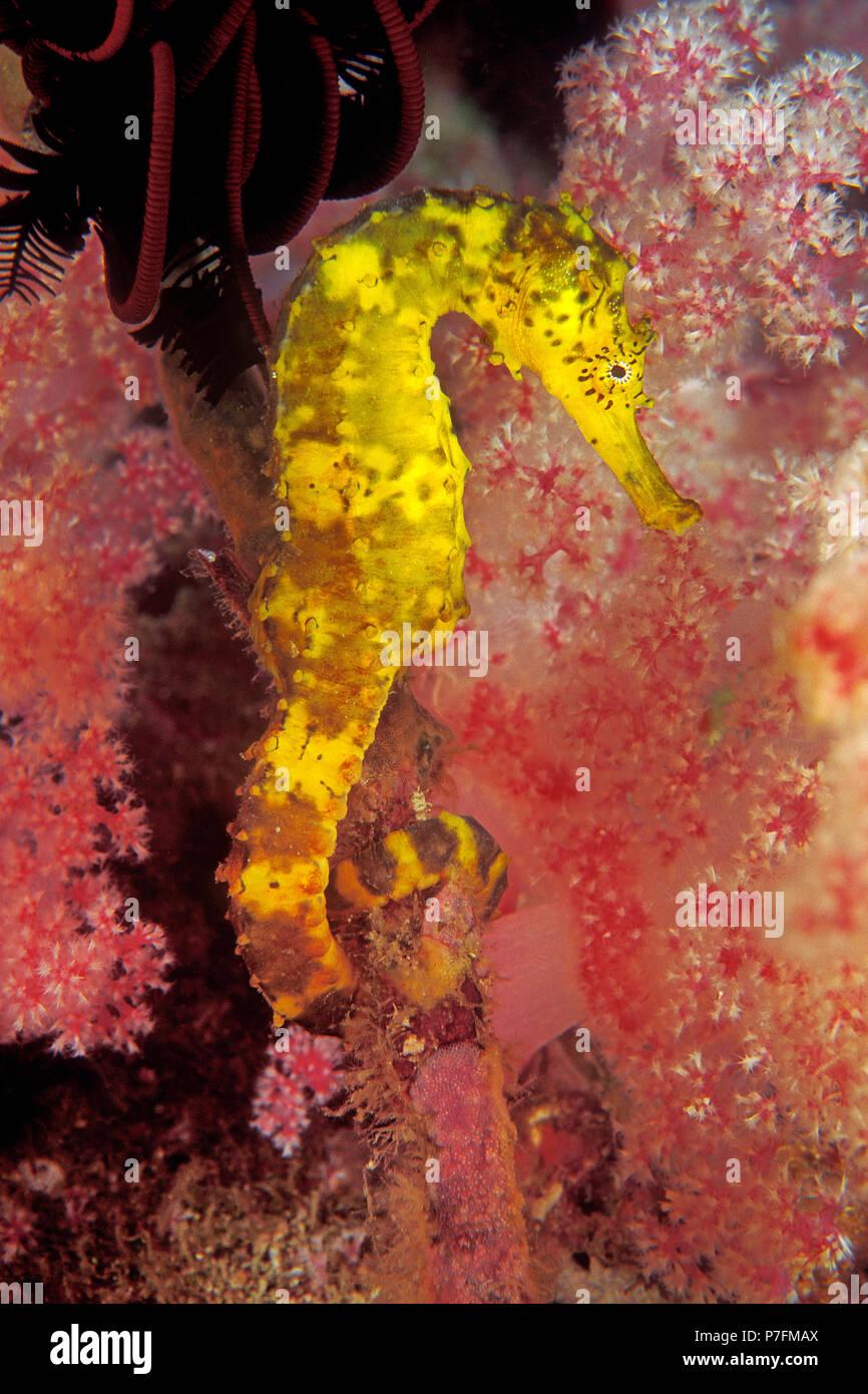 Tiger-tail seahorse (Hippocampus comes) to splendid coral, Similan islands, Andaman Sea, Thailand - Stock Image