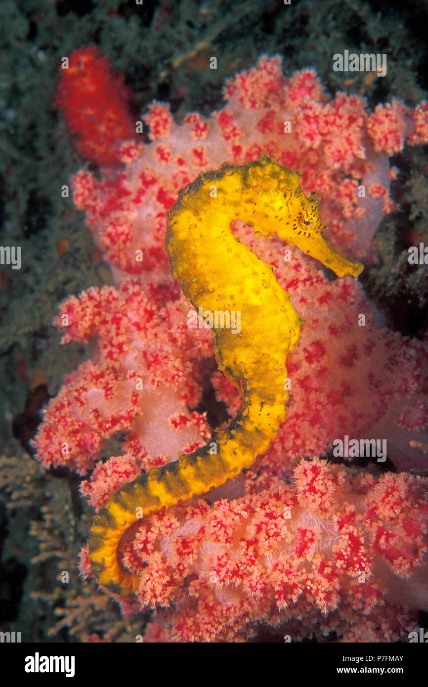 Tiger-tail seahorse (Hippocampus comes) on splendid coral, Similan islands, Andaman Sea, Thailand - Stock Image