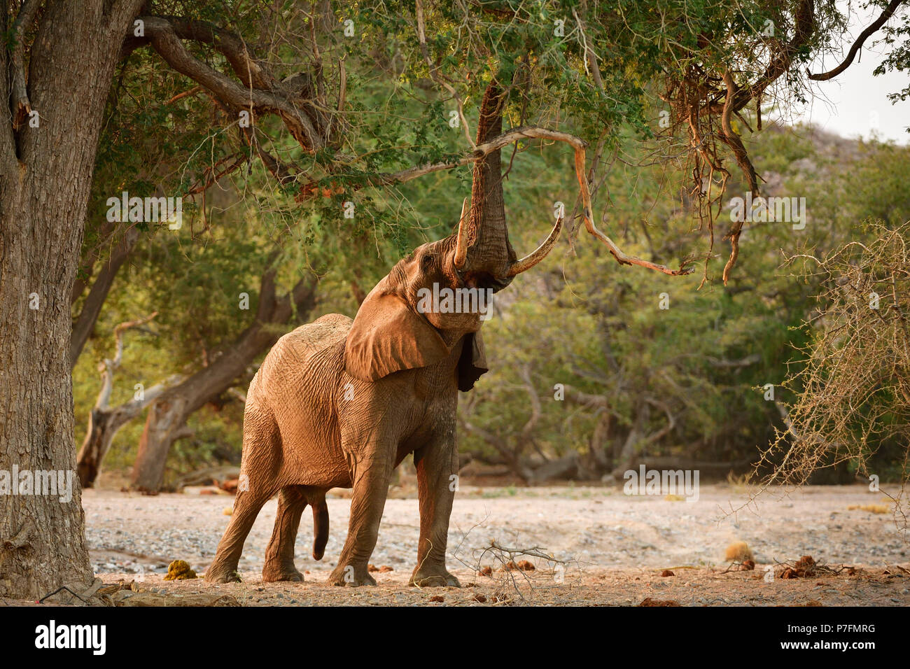 Desert elephant (Loxodonta africana) tears leaves and branches from a tree, Huab River, Namibia - Stock Image