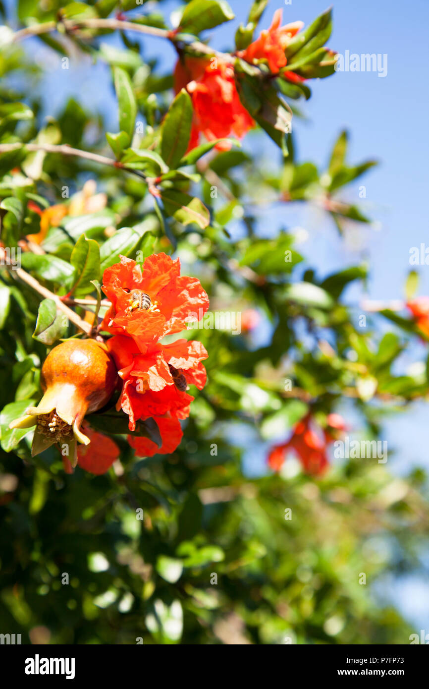 Blooming pomegranate tree with small red fruits and flowers, bees pollinate blooming pomegranate tree, sunny day - Stock Image