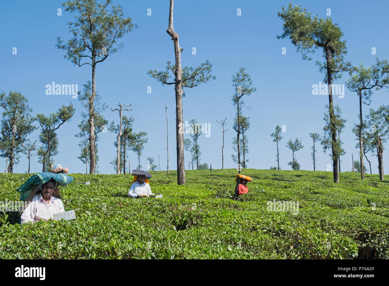 Valparai, India - March 8, 2018: Estate workers clipping tea bushes at an early stage in growth to increase the crop yield - Stock Image