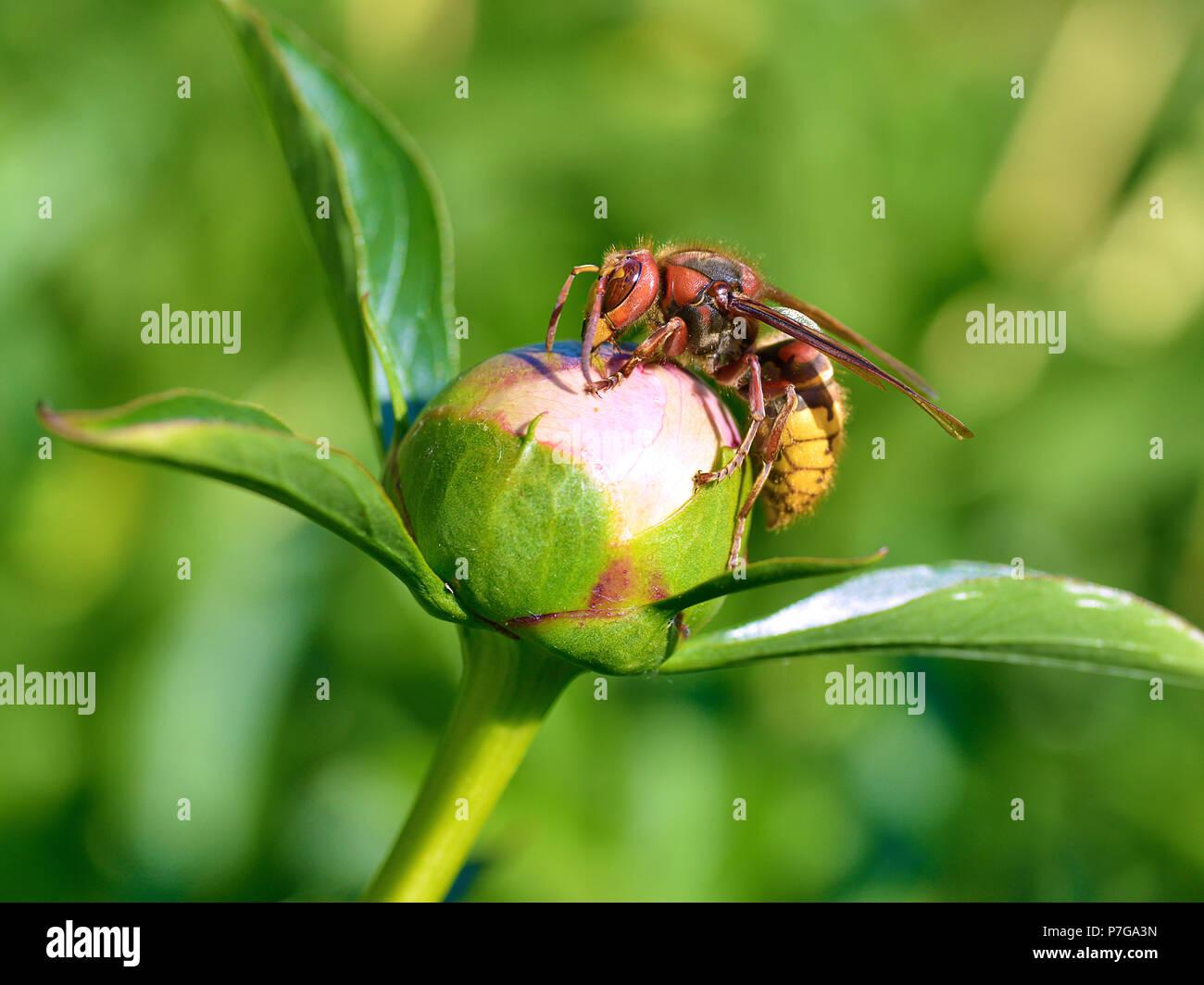 Closeup European hornet (Vespa crabro) on bud of peony flower seen from profile - Stock Image
